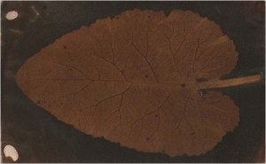 """The Leaf"", and early contact print. Sotheby's"