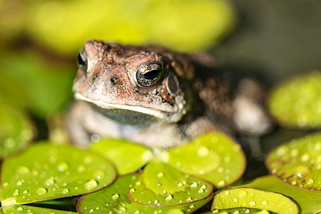 Macro-Photography-Frog-LensRentals-small
