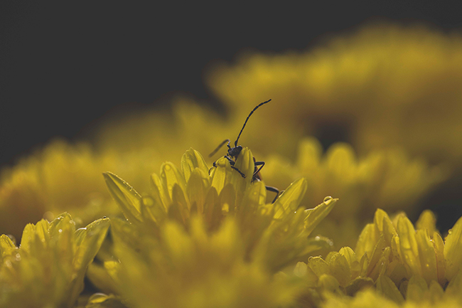 Macro-Photography-LensRentals-Bug-Yellow-small